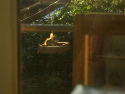 Advent_red_squirrel