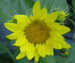 August_sunflower