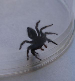 Black_spider2