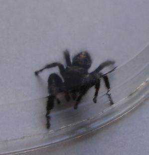 Black_spider_1