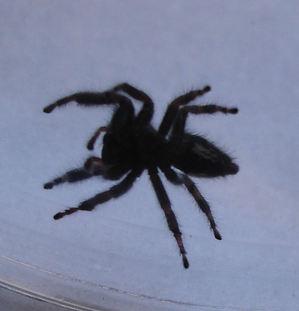 Black_spider_3