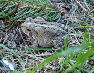 Camouflage_toad3