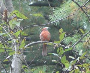 Cardinal_in_tree