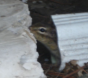 Chipmunk_in_gutter2