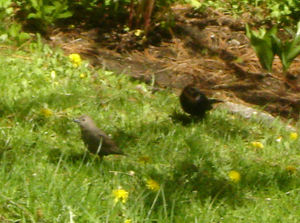 Cowbird_pair2_1