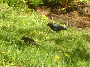 Cowbird_pair3_1