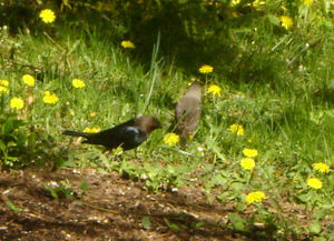 Cowbird_pair4_1