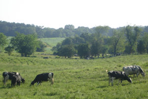 Cows_grazing