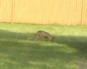 Coyote_6