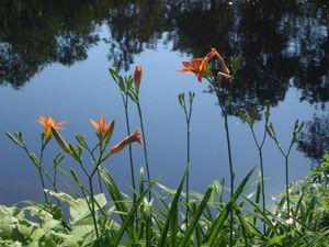 Daylilies_1
