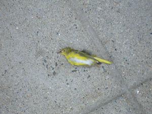 Dead_goldfinch