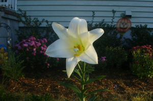 Easter_lily_fall2_1