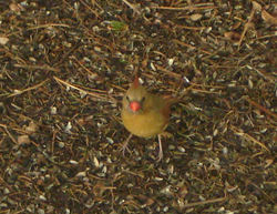 Female_cardinal
