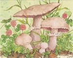 Field_mushroom
