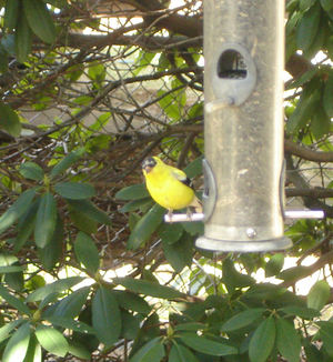 Goldfinch_peeking_1