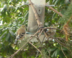 Goldfinches_1
