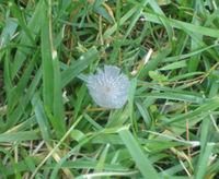 Gray_mushroom