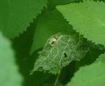 Hidden_moth