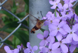 Hummingbird_moth2