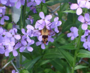 Hummingbird_moth4