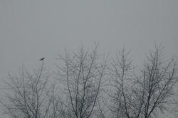 Lone_crow