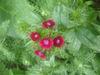 Magenta_wildflower