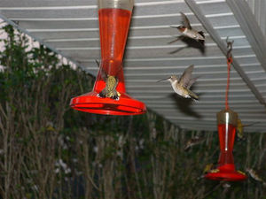 Marcies_hummingbirds