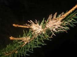 Pine_branch