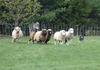 Sheep_on_the_run2_1
