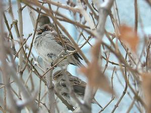 Snow_day_sparrow