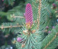 Spruce_bud_big