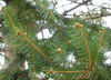 Spruce_buds_north_1