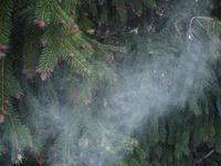 Spruce_pollen