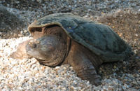 Turtle_laying_eggs2