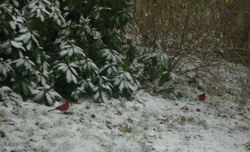 Two_snowy_cardinals