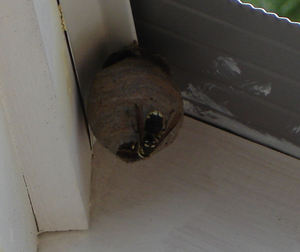 Wasp_nests