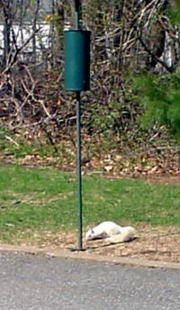White_squirrel1