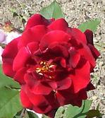 Red_rose_1