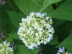 Blue_hydrangea1_1