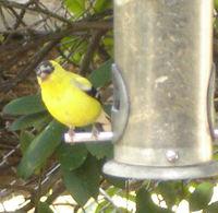 Goldfinch_peeking2