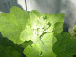 Hollyhock_bud_light