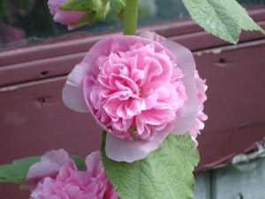 Hollyhock_flower
