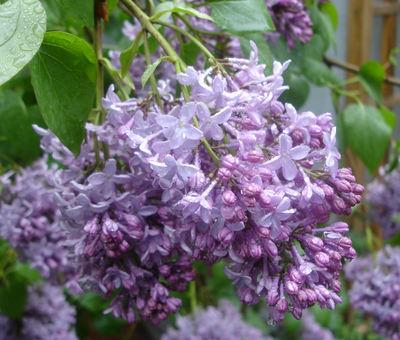 Lilacs_wet_1