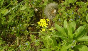 Smaller_yellow_wildflower