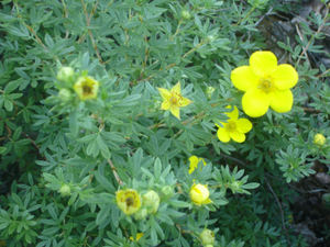 Yellow_flowering_bush