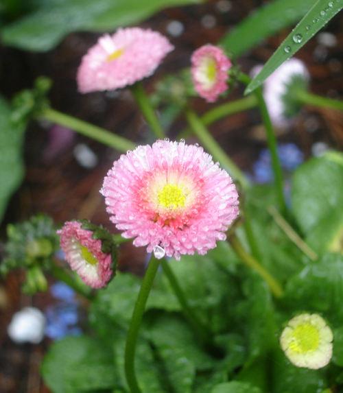 English_daisy