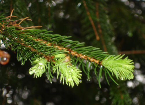 New_spruce_tips