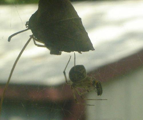 Spider_in_window2