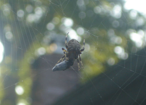 Spider_with_prey2