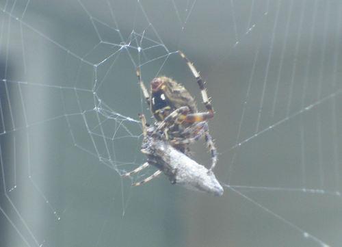 Spider_with_prey3